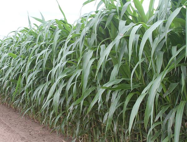Nutri-King BMR 6 Sorgo Sorghum Sudangrass Seed