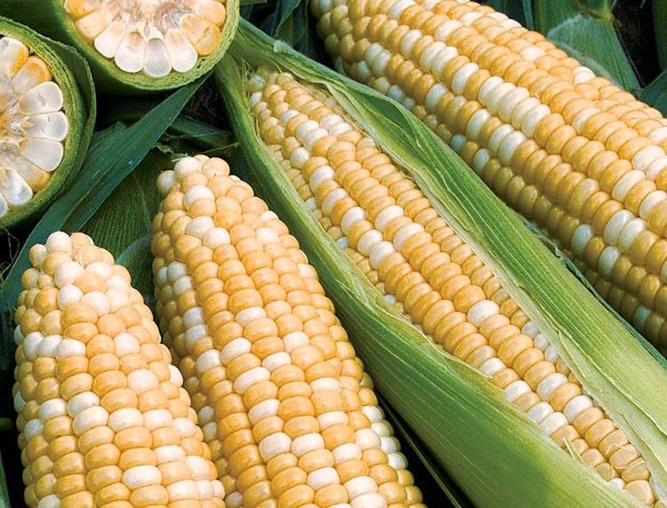 Obsession II Sweet Corn - Caudill Seed Company