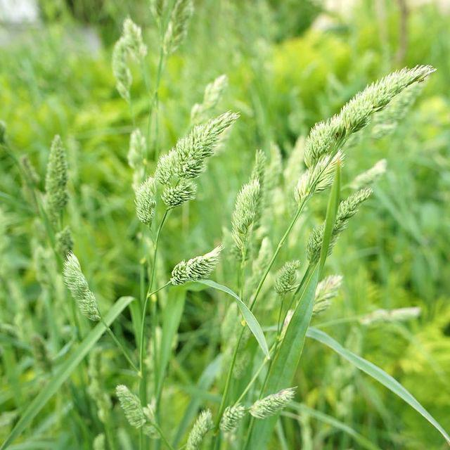 Amba Orchardgrass Seed - Caudill Seed Company