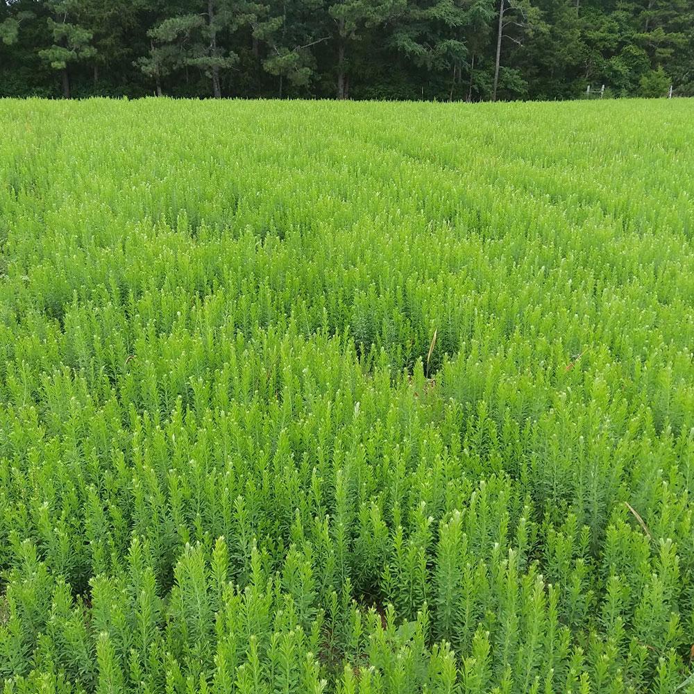Au Grazer Lespedeza Seed -  Caudill Seed Company