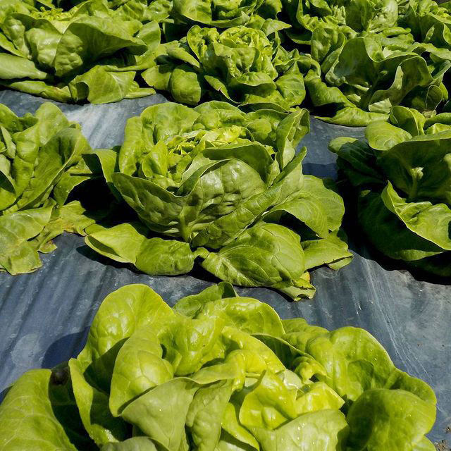 Bibb Lettuce Seed - Caudill Seed Company
