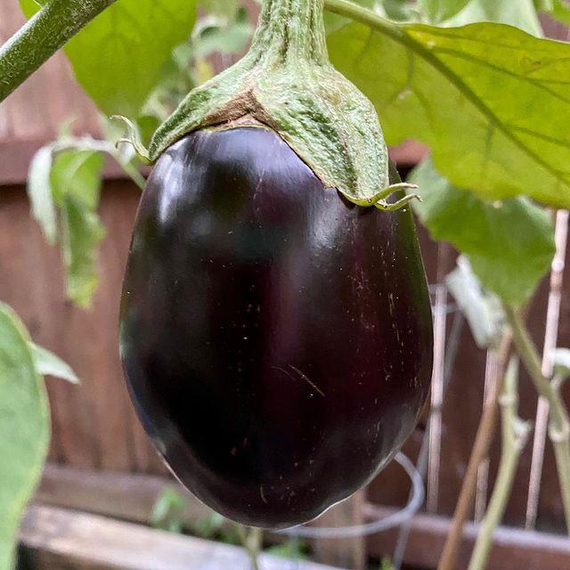 Black Beauty Eggplant Seed - Caudill Seed Company