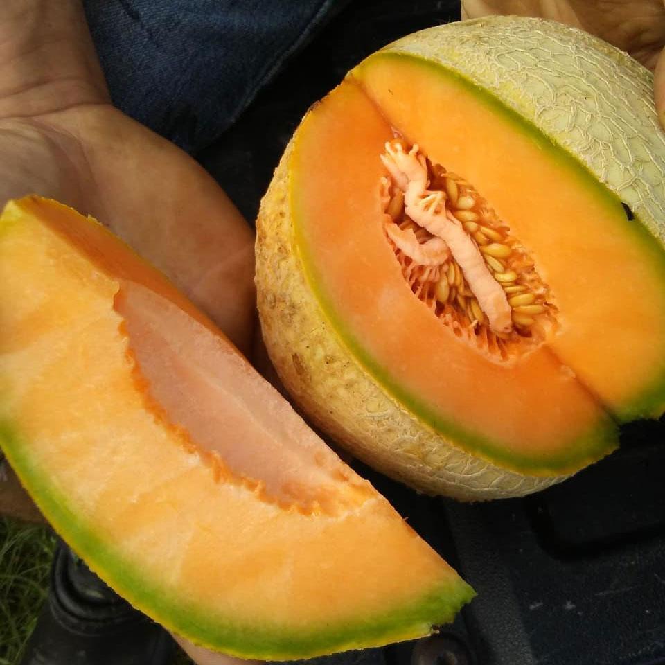 Delicious 51 Cantaloupe Seed - Caudill Seed Company