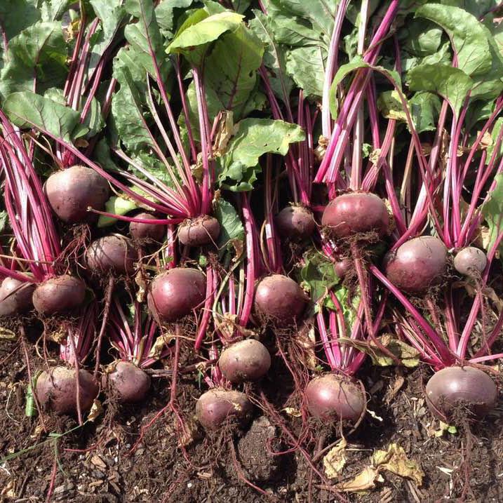Detroit Dark Red Beet Seed - Caudill Seed Company