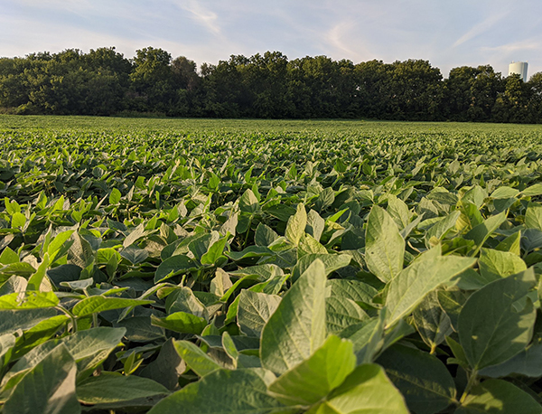 Direct 9938 Soybean Seed by Genetics Direct