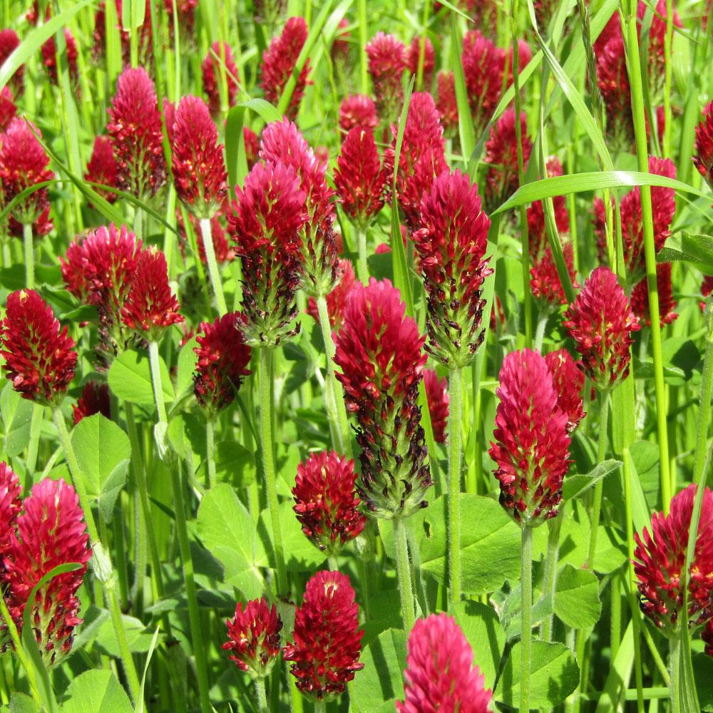 Dixie Coated Crimson Clover Seed - Caudill Seed Company