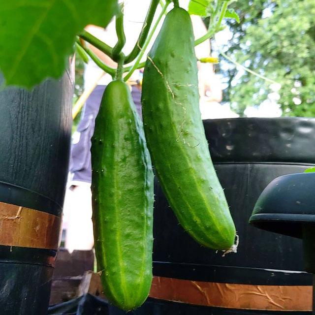 Early Spring Burpless Hybrid Cucumber Seed - Caudill Seed Company