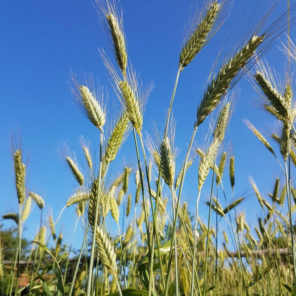 Fridge Triticale Seed - Bulk - Caudill Seed Company