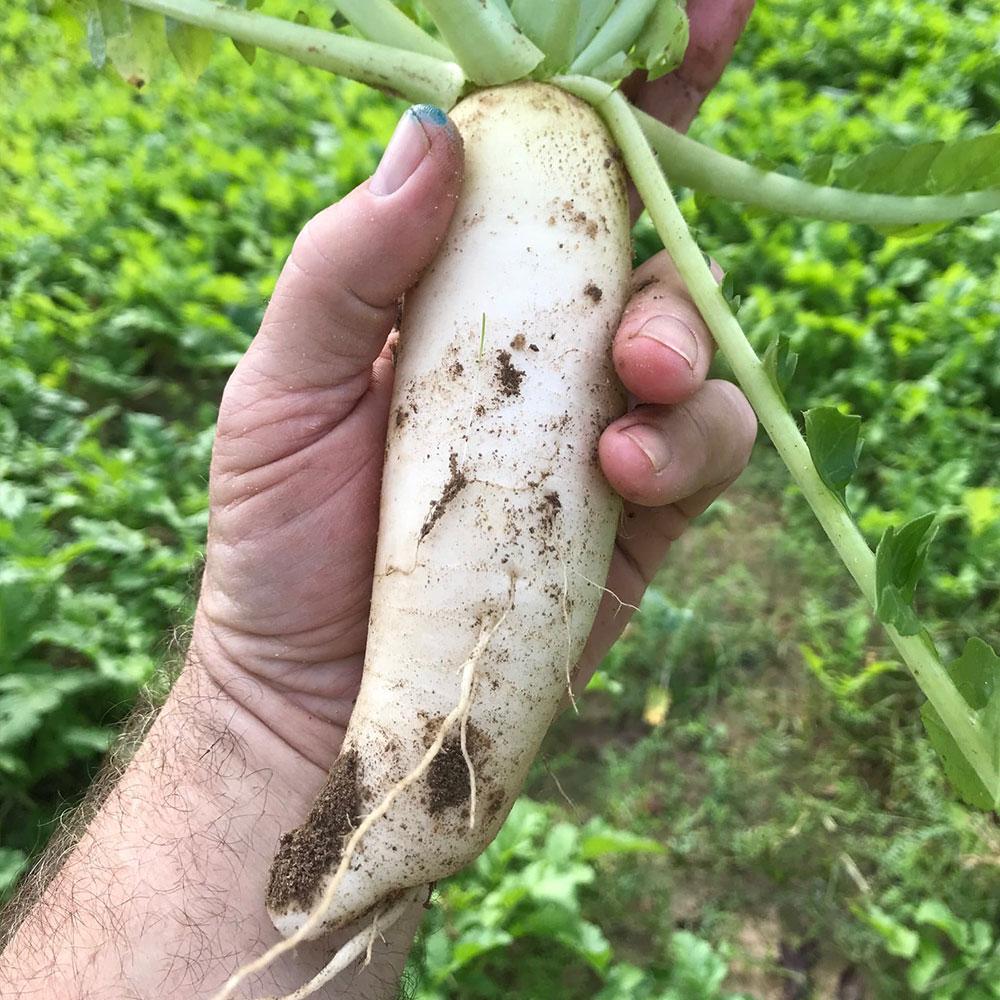 Jackhammer Radish Seed - Caudill Seed Company