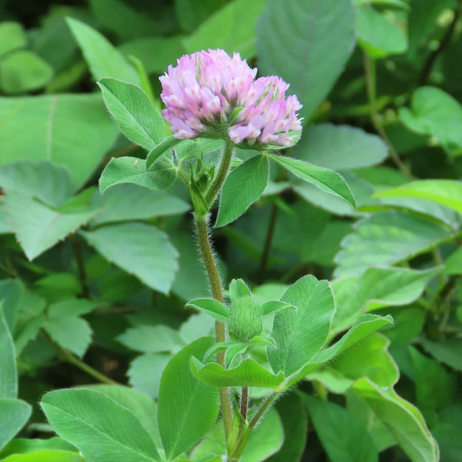 Kenland Coated Red Clover Seed - Caudill Seed Company
