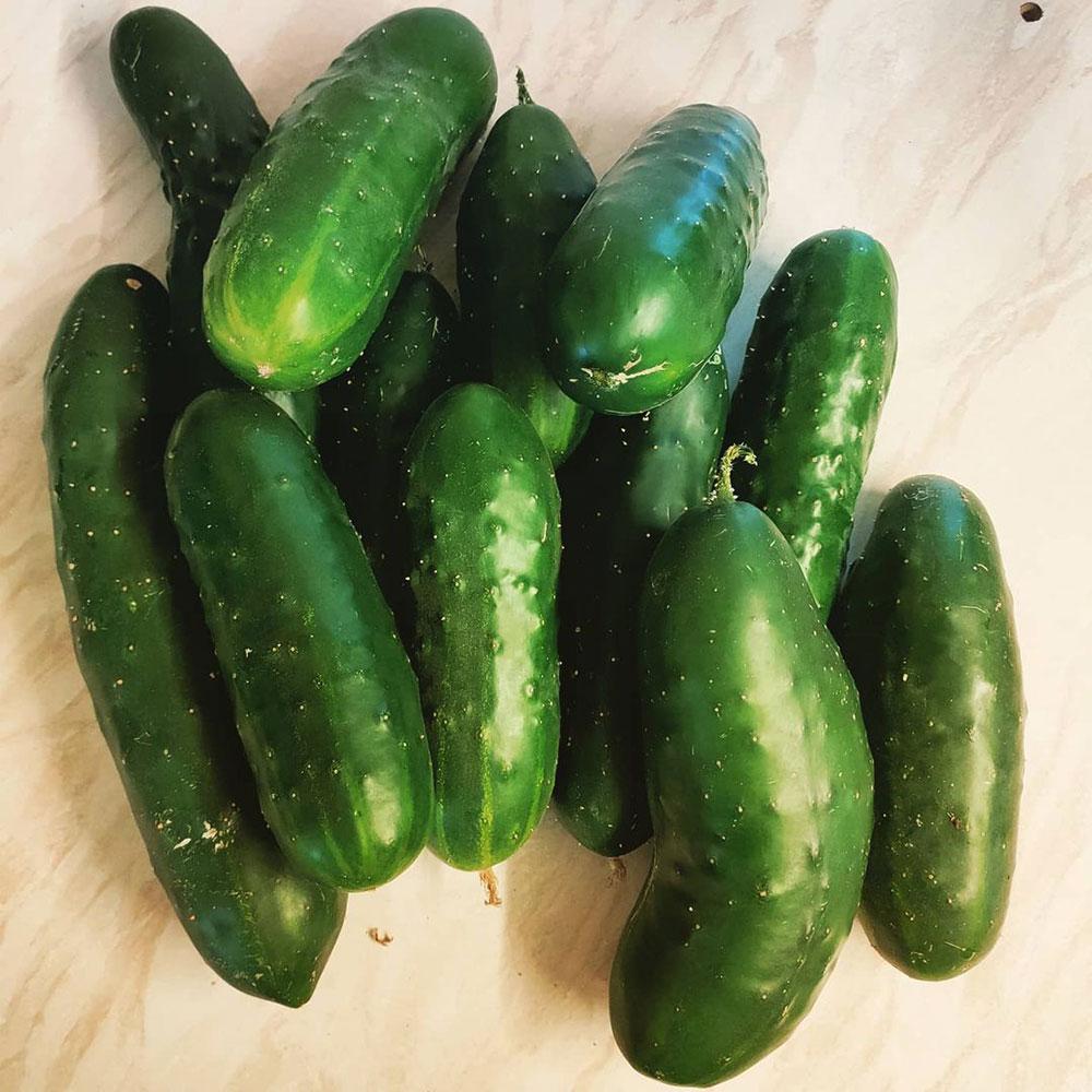 Marketmore 76 Cucumber Seed - Caudill Seed Company