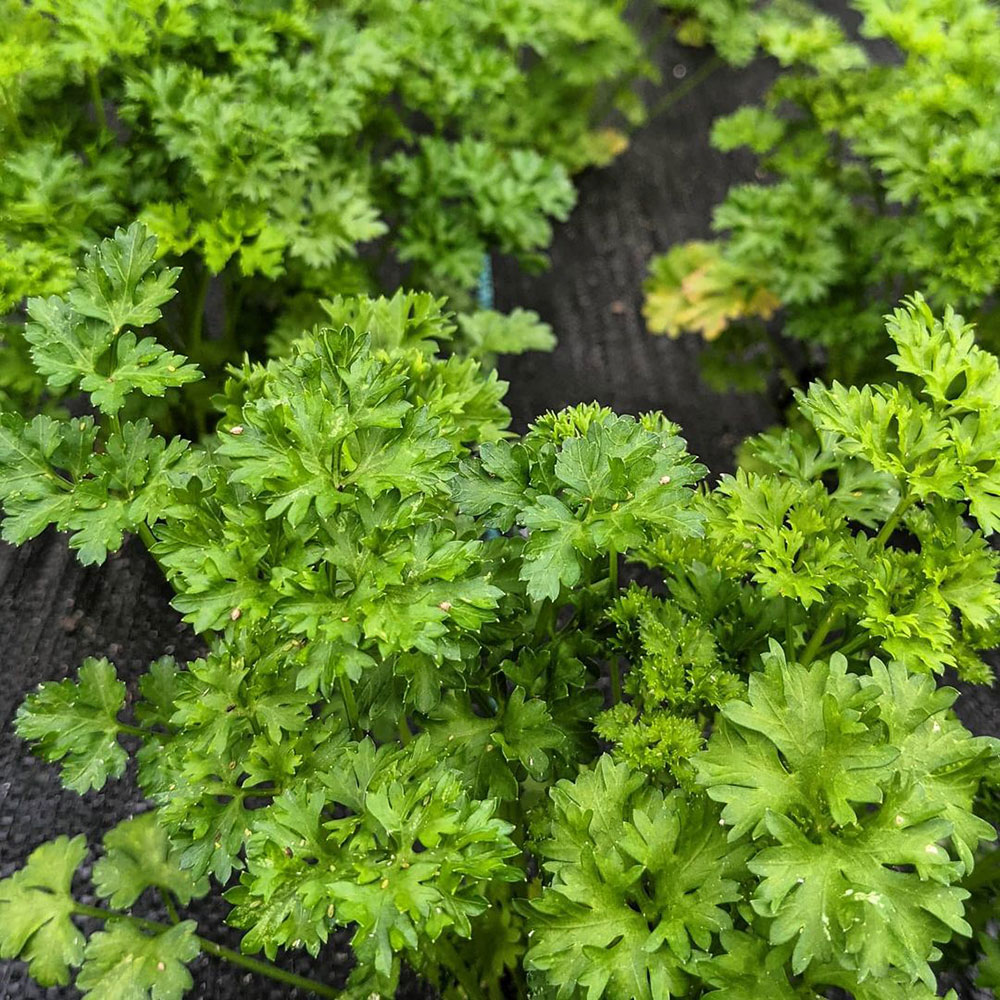 Moss Curled Parsley Seed - Caudill Seed Company