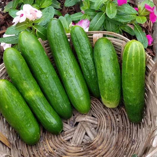 Muncher Cucumber Seed - Caudill Seed Company