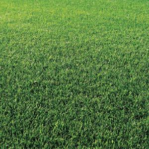 New Seaway Perennial Ryegrass Seed - Caudill Seed Company