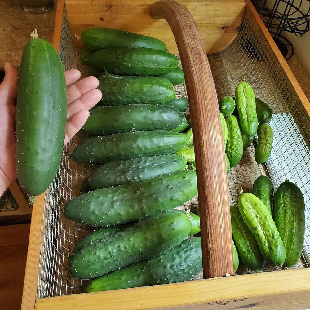 Poinsett Cucumber Seed - Caudill Seed Company