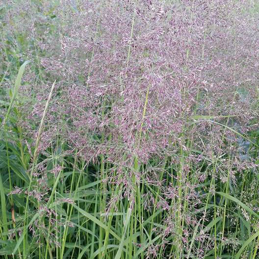 Red Top Grass - Caudill Seed Company