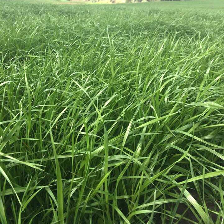 Remington Perennial Ryegrass Seed - Caudill Seed Company