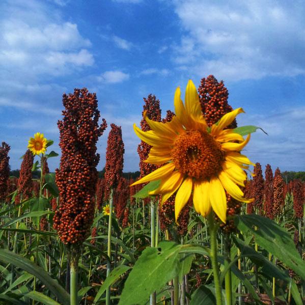 Caudill Spring Food Plot  - Caudill Seed Company