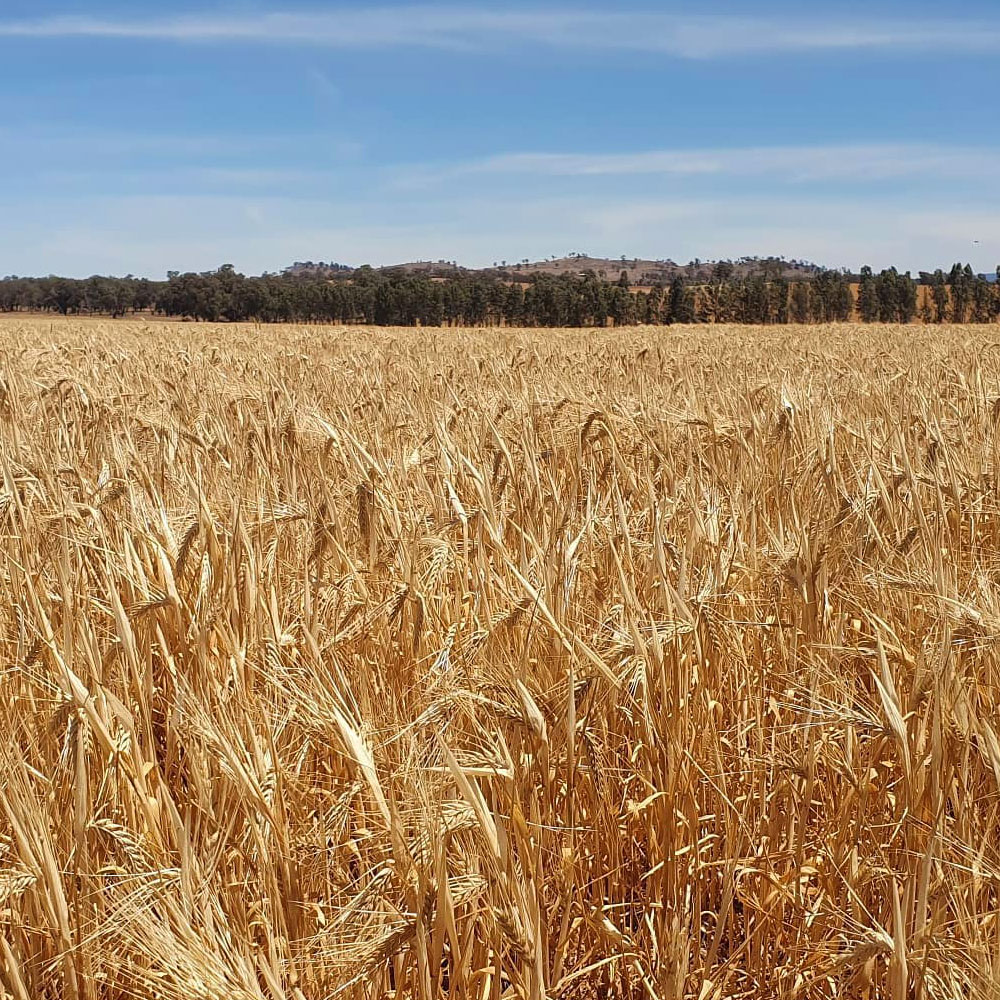 Thoroughbred Barley - 2000lbs - Caudill Seed Company