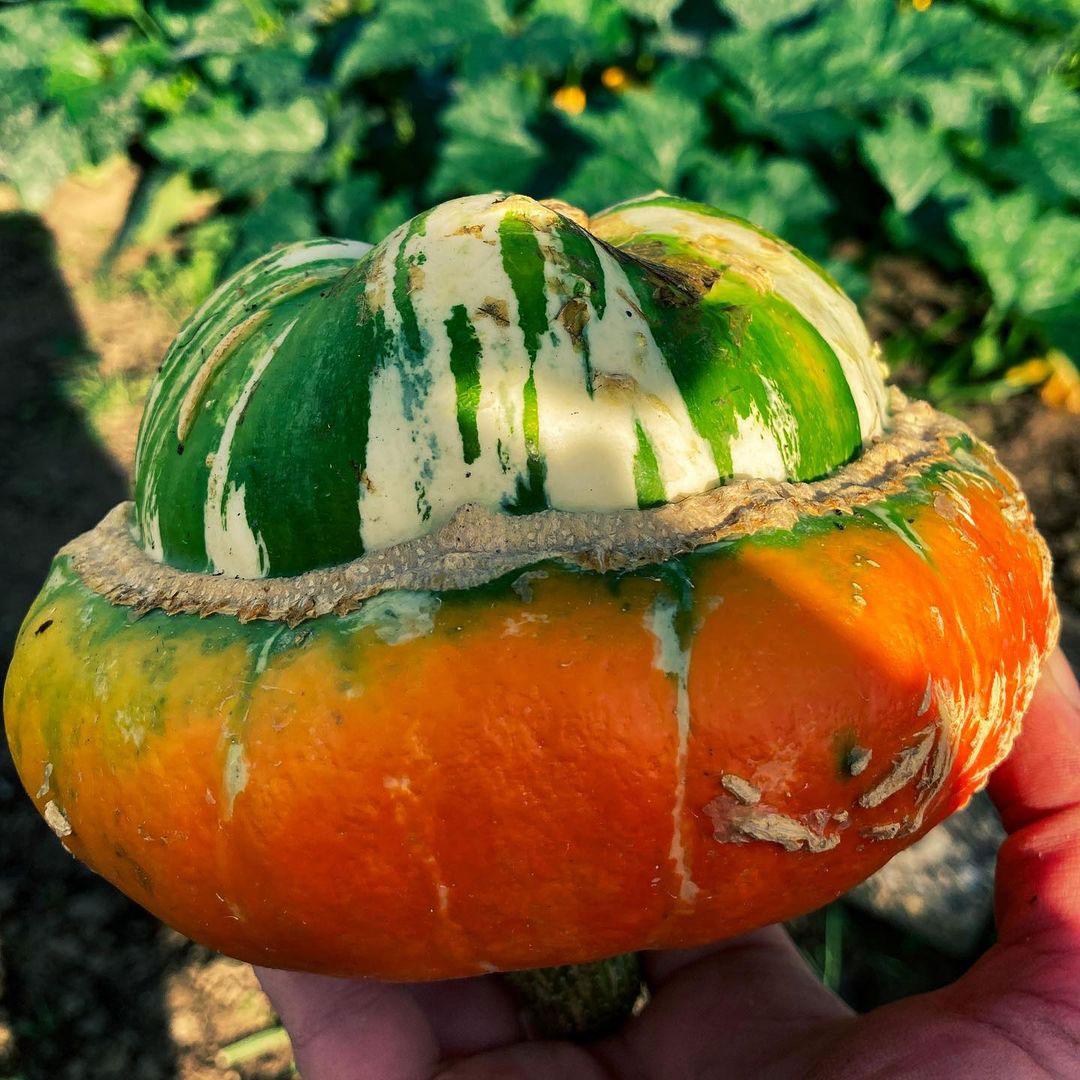 Turks Turban Gourd Seed - Caudill Seed Company