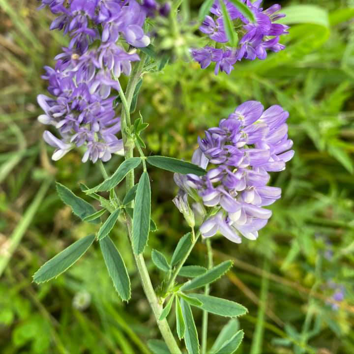 Vernal Alfalfa Seed - Wholesale - Bulk - Caudill Seed Company