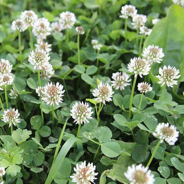 White Dutch Clover Seed - Caudill Seed Company