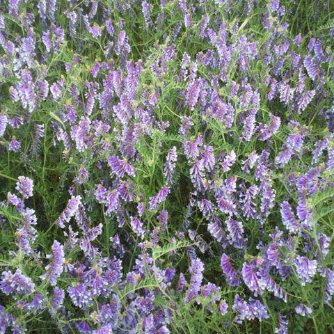 Coated Hairy Vetch Seed (50lb)  - Caudill Seed Company