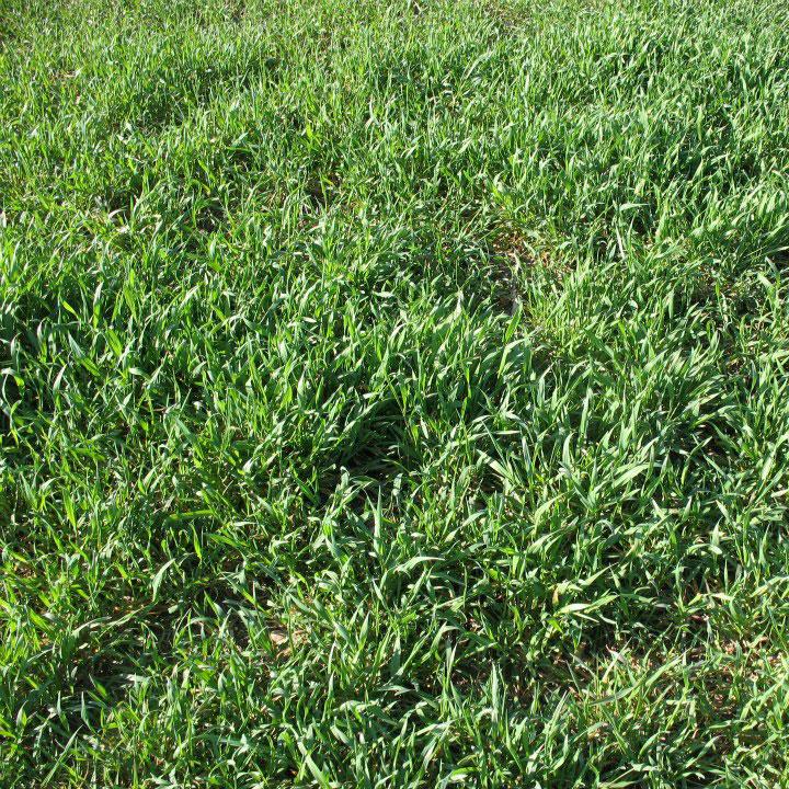 Winter Rye Seed - 50 Lb - Caudill Seed Company
