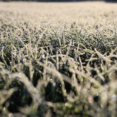 Winter Hawk Annual Ryegrass Seed - Caudill Seed Company
