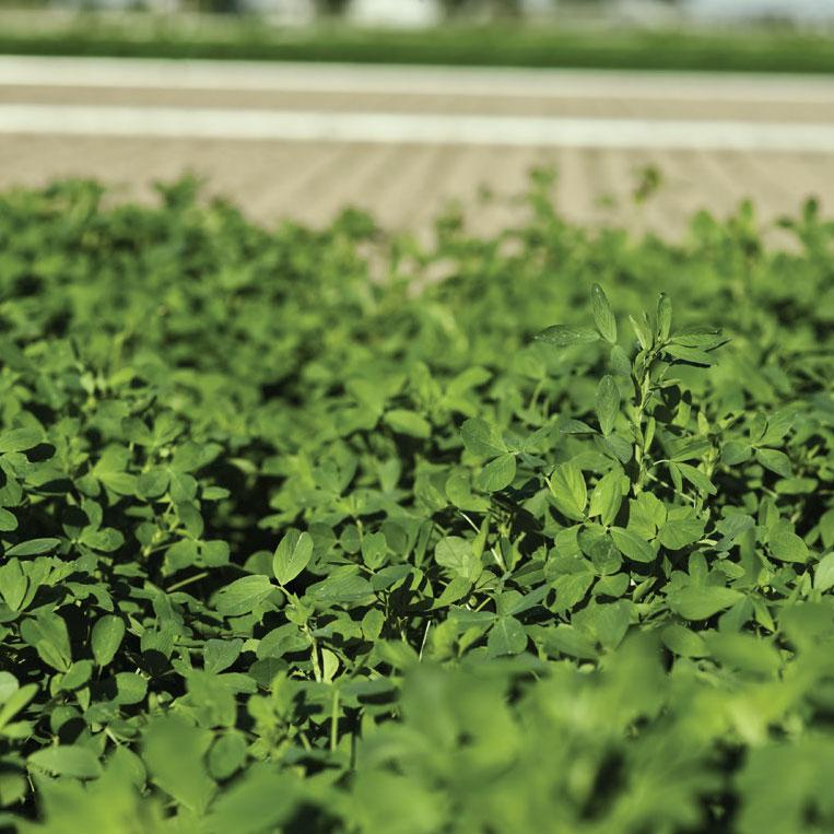 WL 372HQRR Alfalfa Seed - Caudill Seed Company