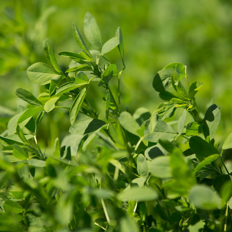 WL 365HQ Coated Alfalfa Seed - Caudill Seed Company